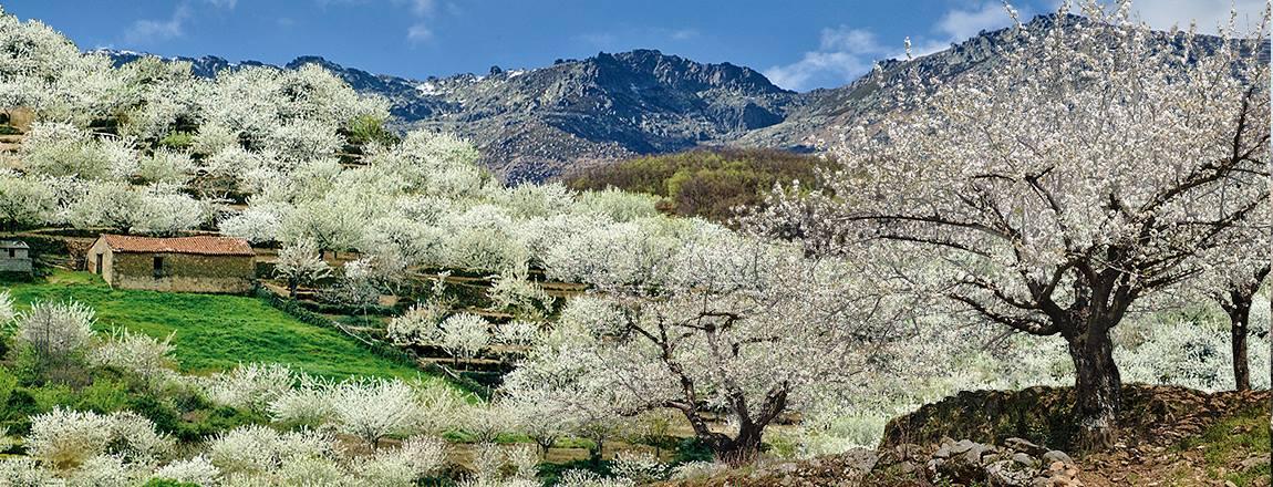 La floración de los cerezos del Valle del Jerte, el espectáculo natural más bello de la primavera
